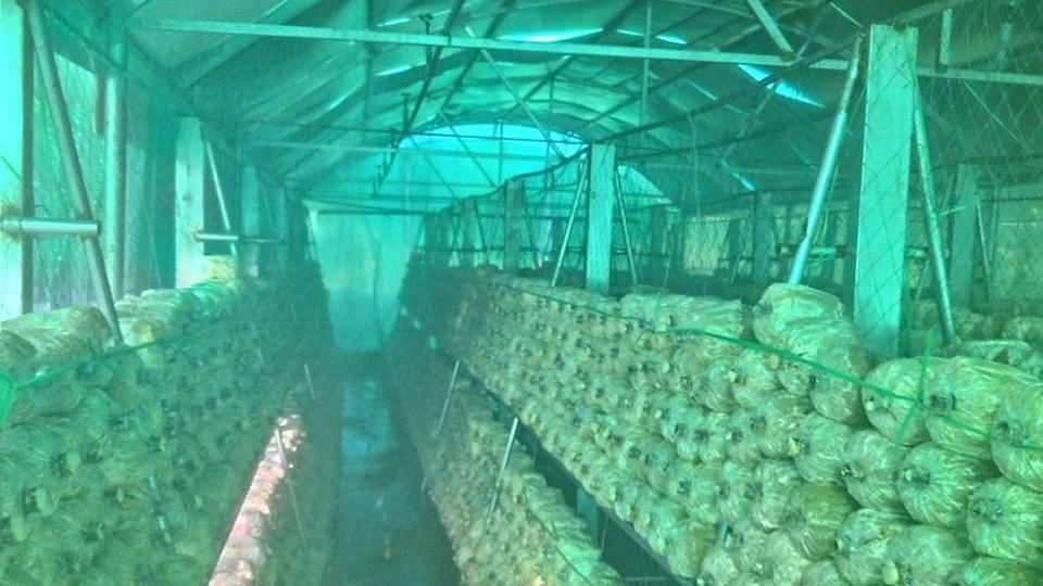 Lắp đặt hệ thống phun sương tưới nấm tại quận Hóc Môn