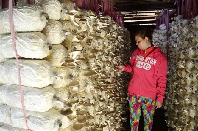 Trồng nấm bào ngư xám, lãi hơn 30 triệu đồng